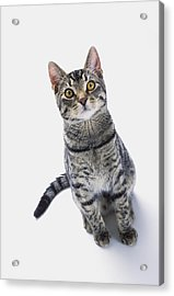 Grey Tabby Cat Looking Upwardvancouver Acrylic Print by Thomas Kitchin & Victoria Hurst