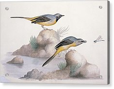 Grey Wagtail, 19th Century Acrylic Print by Science Photo Library
