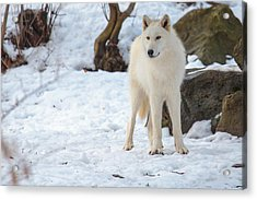 Grey Wolf Acrylic Print by Everet Regal