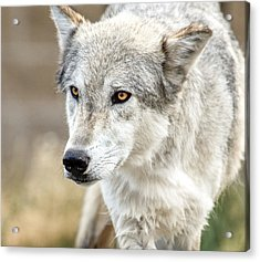 Acrylic Print featuring the photograph Grey Wolf Eyes by Yeates Photography