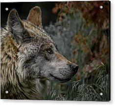 Grey Wolf Profile 3 Acrylic Print by Ernie Echols