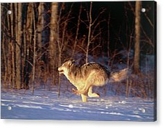 Grey Wolf Running Acrylic Print by William Ervin/science Photo Library