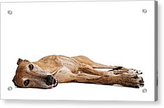 Greyhound Dog Laying Down Acrylic Print by Susan Schmitz