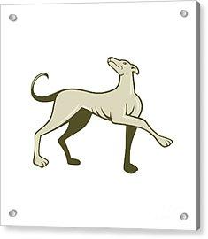 Greyhound Dog Marching Looking Up Cartoon Acrylic Print by Aloysius Patrimonio