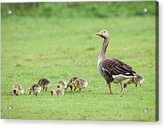 Greylag Goose And Goslings Acrylic Print