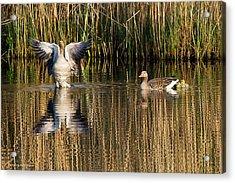 Greylag Goose Family Acrylic Print