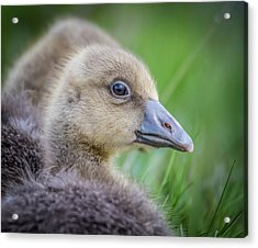 Greylag Goslings, Iceland Acrylic Print