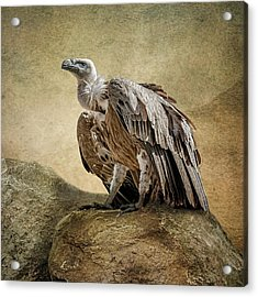 Acrylic Print featuring the photograph Griffon Vulture by Brian Tarr