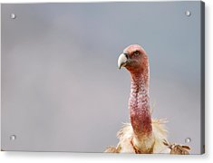 Griffon Vulture Acrylic Print by Dr P. Marazzi