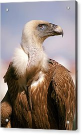 Griffon Vulture (gyps Fulvus) Acrylic Print