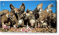 Griffon Vultures Feeding Acrylic Print
