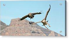 Griffon Vultures Flying Acrylic Print