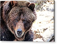 Grizz Acrylic Print by Karol Livote
