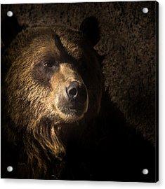 Grizzly 2 Acrylic Print
