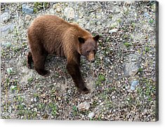 Grizzly Bear 1 Acrylic Print by Andy Fung