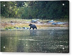 Grizzly Bear At Poison Cove Acrylic Print