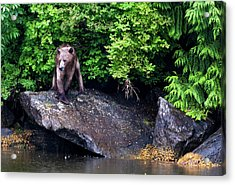 Grizzly Bear At The Waters Edge Acrylic Print