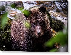 Grizzly Bear By A River Acrylic Print