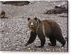 Grizzly Bear Acrylic Print by Charles Warren