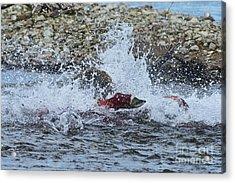 Brown Bear Chasing Salmon While Salmon Jump To Escape Acrylic Print by Dan Friend