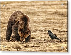 Grizzly Bear Digging Roots, Watched By Acrylic Print