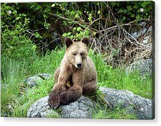 Grizzly Bear Acrylic Print by Dr P. Marazzi/science Photo Library
