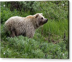 Grizzly Bear In Denali National Park Acrylic Print