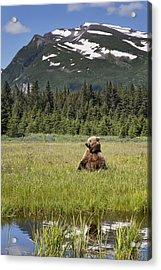 Grizzly Bear In Meadow Lake Clark Np Acrylic Print by Richard Garvey-Williams