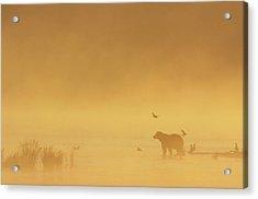 Grizzly Bear In Morning Fog Acrylic Print by Matthias Breiter