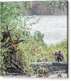 Grizzly Bear Late September 2 Acrylic Print