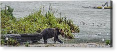 Grizzly Bear Late September 4 Acrylic Print