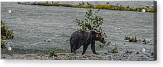 Grizzly Bear Late September 5 Acrylic Print
