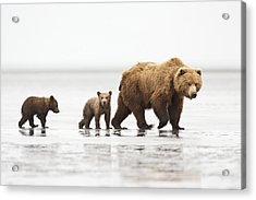 Grizzly Bear Mother And Cubs Lake Clark Acrylic Print