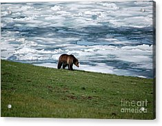 Acrylic Print featuring the photograph Grizzly Bear On The Shoreline Of Frozen Lake Yellowstone by Shawn O'Brien