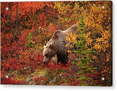Grizzly Bear Acrylic Print by Piriya Photography