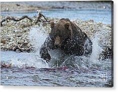 Brown Bear Pouncing On Salmon Acrylic Print by Dan Friend