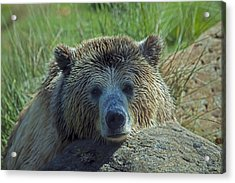 Grizzly Bear Resting Acrylic Print by Garry Gay
