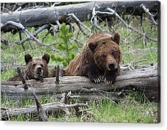 Grizzly Bear Sow And Cub Acrylic Print