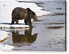 Grizzly Bear Stepping Into Water Acrylic Print by Mike Cavaroc