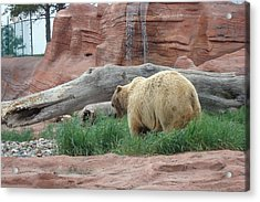 Grizzly Bear Acrylic Print by Susan Woodward