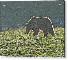 Grizzly Bear With Aura Acrylic Print by Bob Dowling