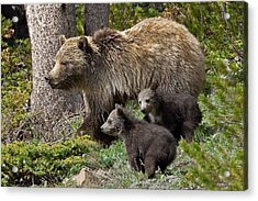 Grizzly Bear With Cubs Acrylic Print by Jack Bell