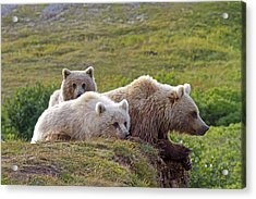 Grizzly Bear With Young Acrylic Print by M. Watson
