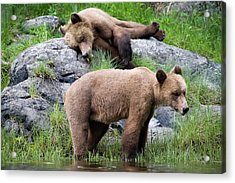Grizzly Bears Acrylic Print