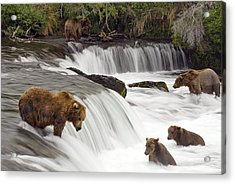 Grizzly Bears Fish At Brooks Falls In Acrylic Print by Chris Miller