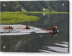 Grizzly Bears Swimming Acrylic Print by M. Watson