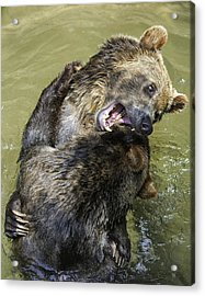 Grizzly Cubs Roughhousing Acrylic Print