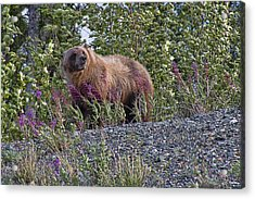 Grizzly Acrylic Print by David Gleeson