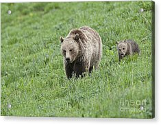 Grizzly Family On Dunraven Acrylic Print by Bob Dowling