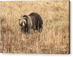 Grizzly In Autumn Meadow Acrylic Print by Bob Dowling